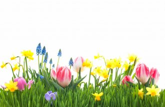 Alexander Raths: Spring flowers in green grass isolated on white background